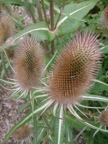 Teasel heads in our forest garden.